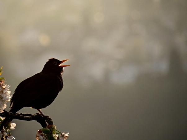 blackbird-1980314_1920.jpg